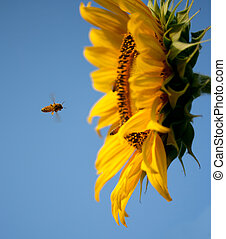 Flying bee to sunflower on blue sky background.