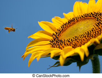 Flying bee to sunflower on blue sky background