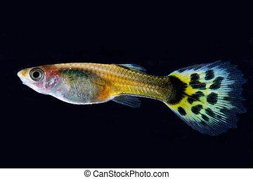 guppy, peixe,