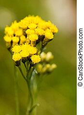caril, planta, Asteraceae,