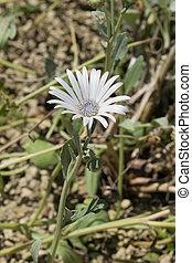 Arctotis venusta, Asteraceae, Africa