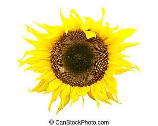 sunflower - Photo of the yellow sunflower against the white...