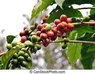 coffee beans on coffee tree