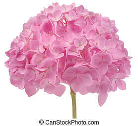 Beautiful Pink Hydrangea Flowers Isolated on White...