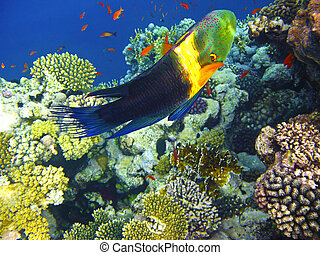 Boomtail wrasse and coral reef in Red sea