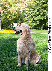 dog of breed retrivt the golden sits on a grass