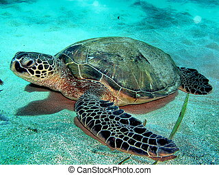 Bottom turtle - Hawaiian Green sea turtle on sandy bottom