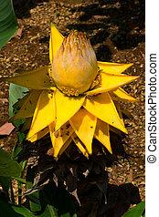 Ensete lasiocarpum Cheesman, Musaceae, medicinal, edible,...