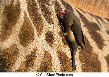 Red billed oxpecker on giraffe - Red billed oxpecker hanging...