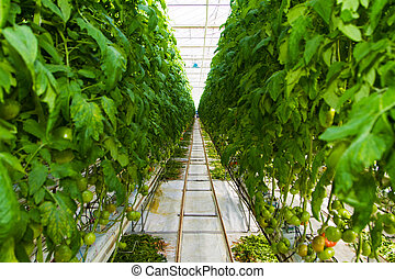 Growing tomatoes in greenhouse - Tomatoes grow on vines in a...