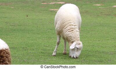 Sheep eating grass in farm field