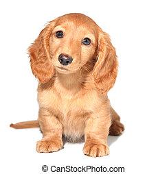 Dachshund puppy - Miniature dachshund puppy