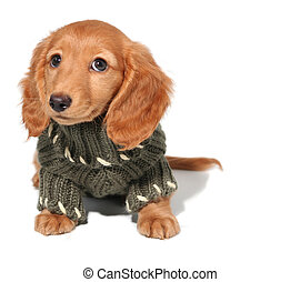 Dachshund puppy - Miniature dachshund puppy in a winter...