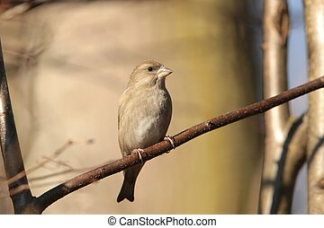 Greenfinch - Female Greenfinch Carduelis chloris on a twig...
