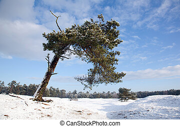 old bent pine tree in winter landscape near Zeist in Holland...