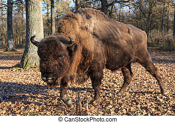 european bison in the forest. Bucsani, Romania