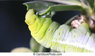 Macro close up Caterpillar, green worm is eating leaf