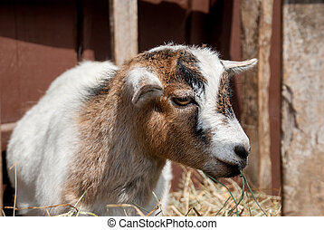 Goat from Petting Zoo - A brown, white, and black goat...