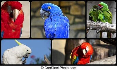 Parrots, collage - Parrot species montage