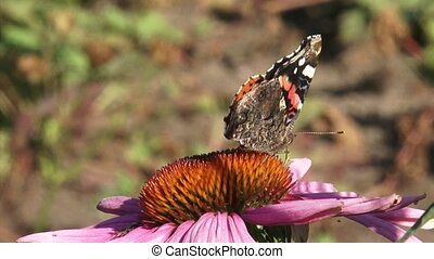 Vanessa Atalanta, Red Admiral butterfly - side view -...