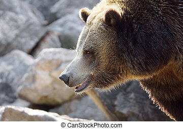 Grizzly bear profile