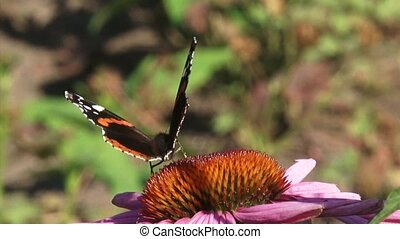 Vanessa Atalanta, Red Admiral butterfly feeds on nectar of...