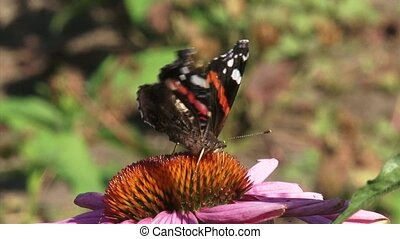 Vanessa Atalanta, Red Admiral butterfly - on camera -...