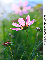 close up of pink cosmos flowers field with flare light...