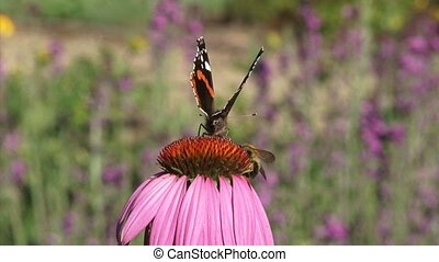 Purple coneflower, echinacea purpurea with pollinators -...