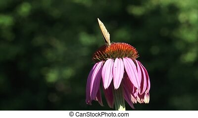 Meadow brown butterfly on echinacea purpurea, wings closed -...