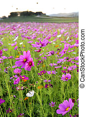 cosmos flowers fields