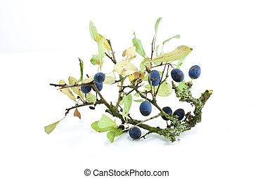 slow berries - autumn sloe berries shot on a white...