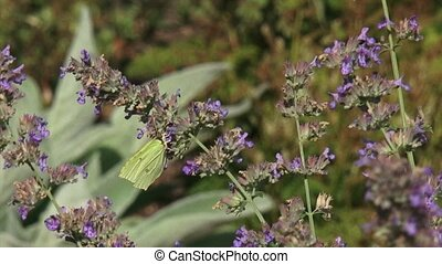 Brimstone butterfly on lilac sage Brimstones are widespread...