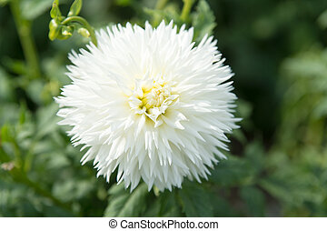 White dahlia flower on green background - White Dahila,...