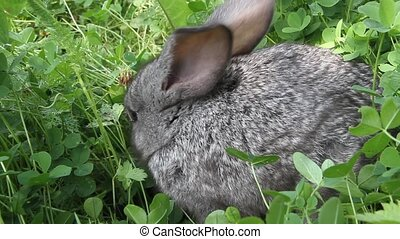 Grey rabbit clover lawn - Grey rabbit among the clover on...