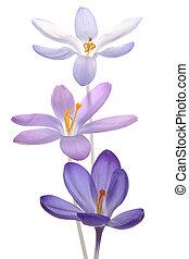 crocus - Studio Shot of Blue and Lilac Colored Crocus...