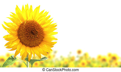 Sunflowers - Yellow sunflowers. Isolated over white...