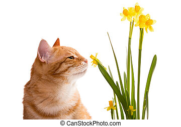 Orange domestic cat and daffodils, isolated on white