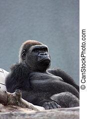Silver back gorilla male