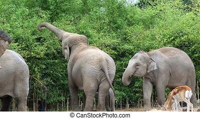 elefant, asiatisch
