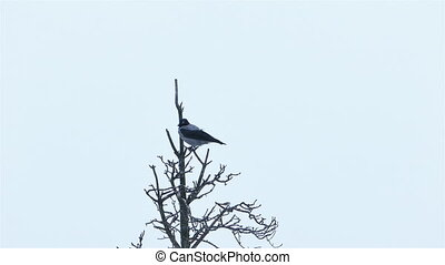 Crow Sitting on a Dead Dry Tree - Grey Crow Sitting on a...