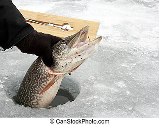 Northern Pike caught ice fishing - Northern Pike being...