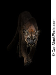 puma in the dark - Puma is on the prowl in the dark