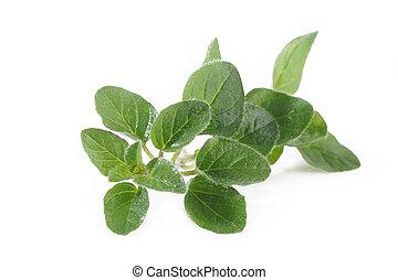 Oregano plant on white background