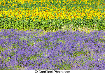 lavender and sunflower fields, Provence, France