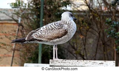 Seagull - Mottled plumage seagull standing on a pole and...