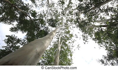 eucalyptus tree in wind, Dolly shot