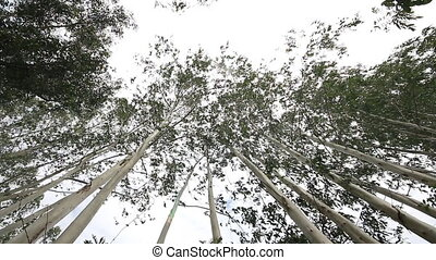 eucalyptus tree in wind, Dolly shot.