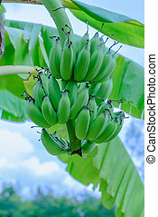 Green organic cultivated bananas bunch on a tree in my backyard