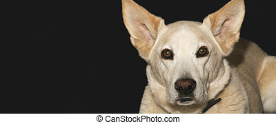 Dog Face - The attentive face of an alert blond shepherd dog